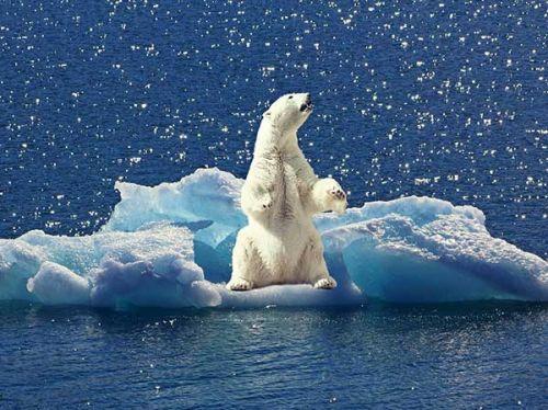 Eisbär Scholle